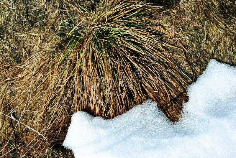 Den ljusa gula sidan för torrt gräs ett täckte med vit snö, naturlig bakgrund royaltyfria bilder