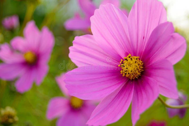 Den ljusa härliga rosa färgen blommar på den gröna suddiga bakgrunden royaltyfri bild