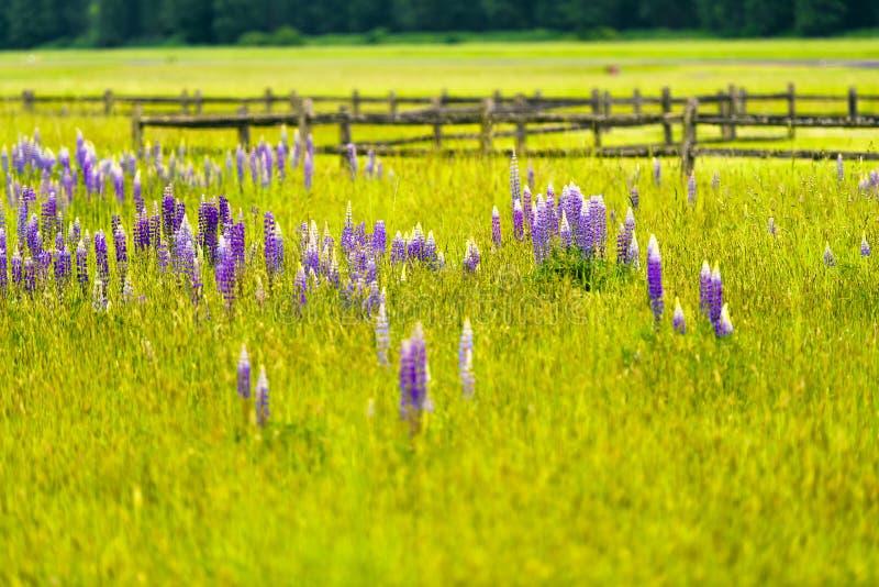 Den ljusa lilan blommar bland frodigt sommargräs i äng royaltyfri bild