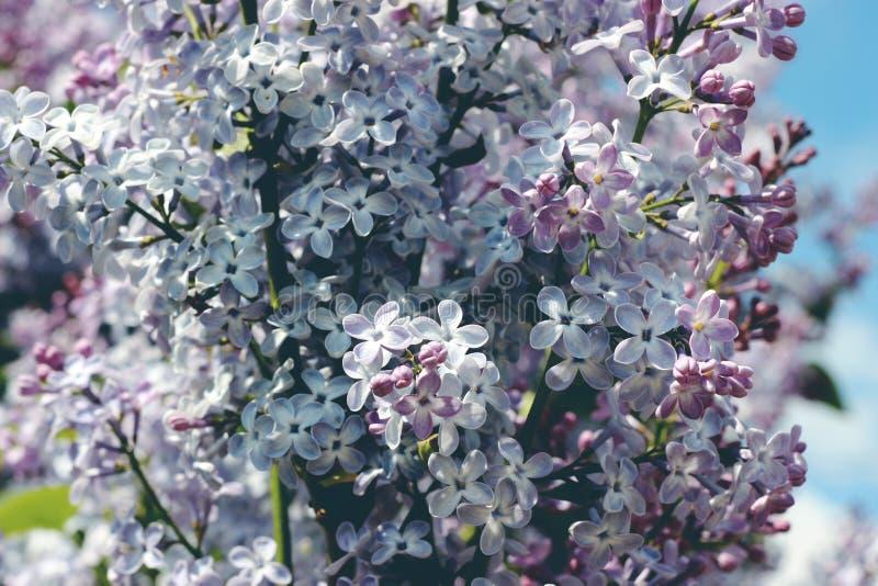 Den ljusa lilan blommar i trädgården i våren, April, beröm arkivfoton
