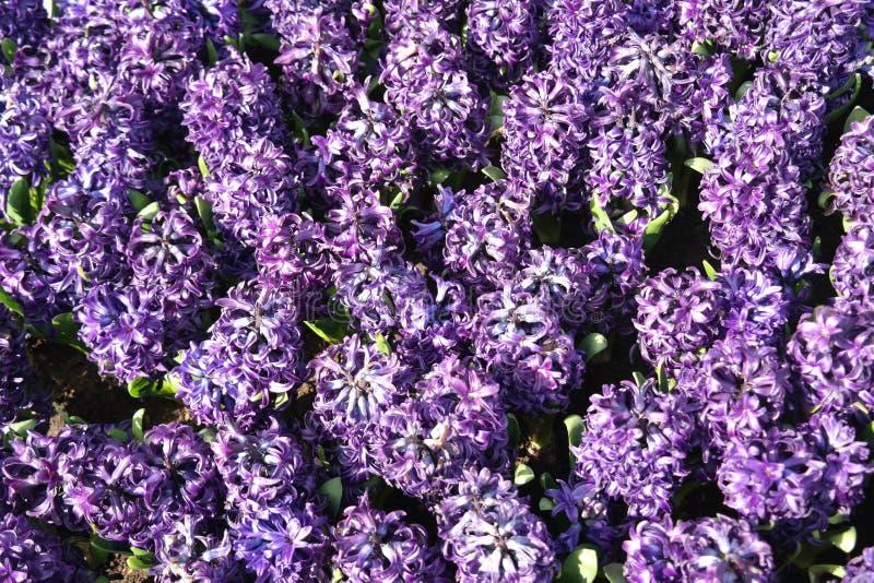 Den ljusa lilan royaltyfria bilder