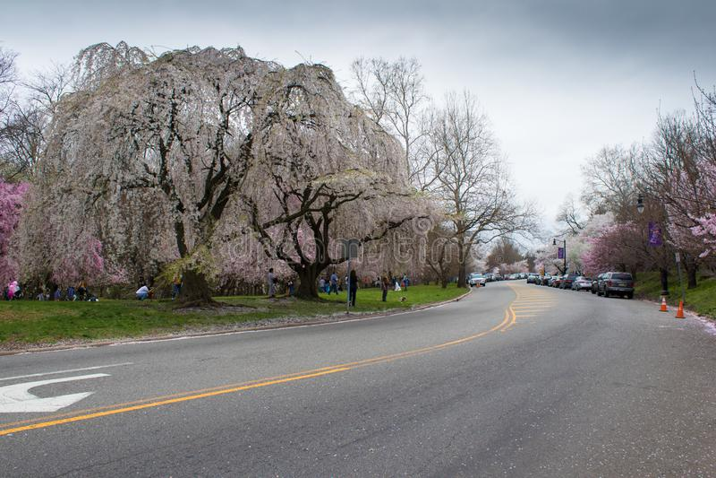 Den ljusa och h?rliga fulla blom av Cherry Blossom i v?r royaltyfria bilder