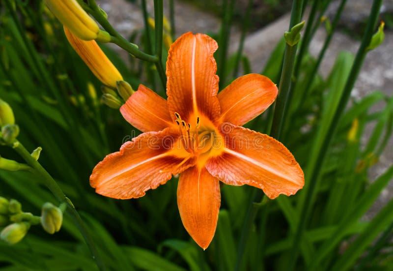 Den ljusa orange liljan blommar i den soliga tr?dg?rden Liliumbulbiferumen, den orange liljan för gemensamma namn, [brandliljan f royaltyfria bilder