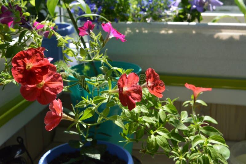 Den ljusa röda petunian blommar i liten trädgård på balkongen Hem- göra grön med inlagda växter royaltyfri foto
