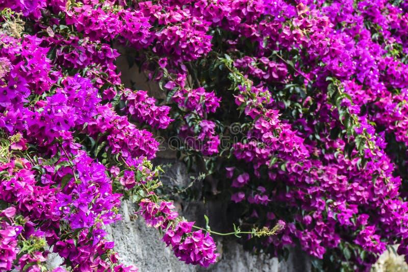 Den ljusa rosa fuchsian blommar på väggen arkivfoton