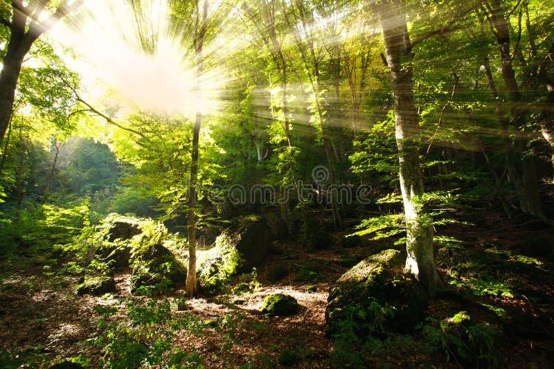 Den ljusa solen rays att skina till och med filialer av den gröna skogen royaltyfria bilder