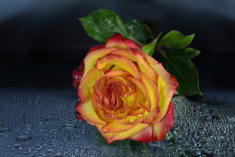 Den ljusa våta guling-röda rosen med vatten tappar på mörk bakgrund fotografering för bildbyråer