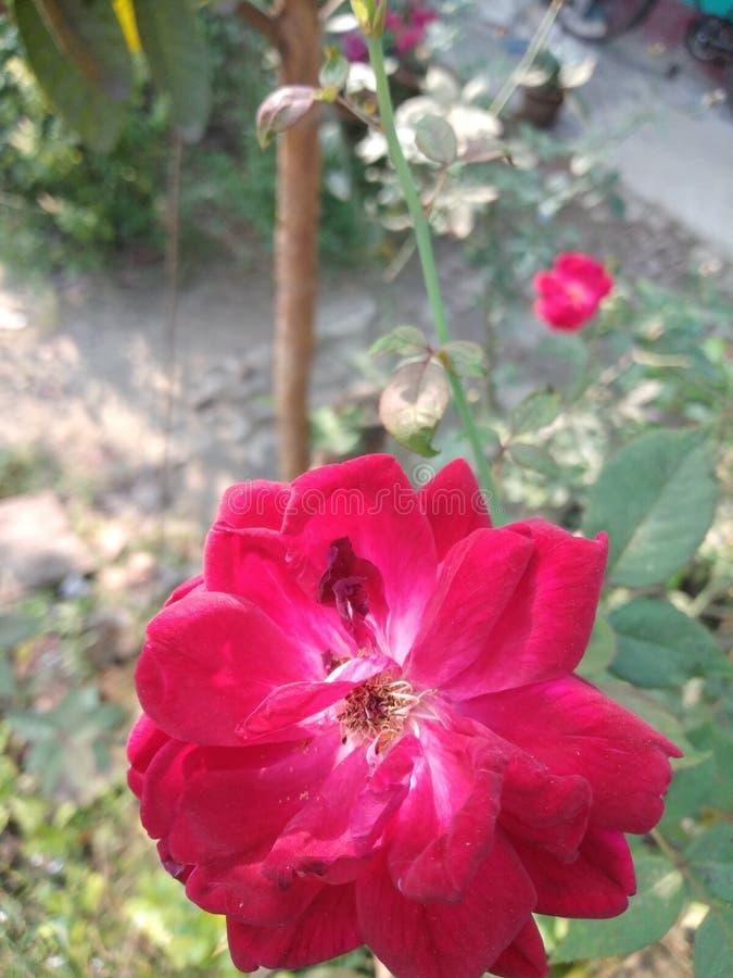 Den ljusröda rosen i mitt trädgårdträd är det den bästa blomman i Indien royaltyfria bilder