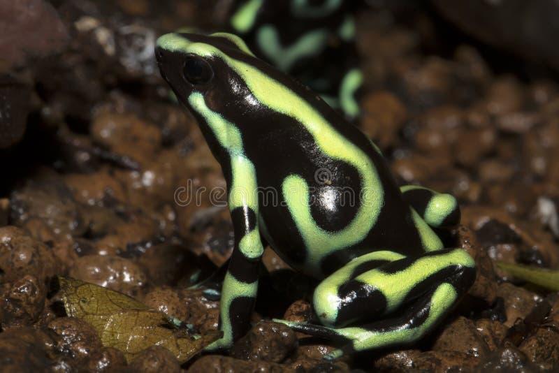Den ljust färgade grodan, gräsplan och svart kasta sig grodan, den Dendrobates auratusen royaltyfri fotografi