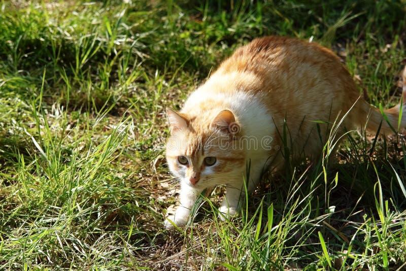 Den ljust rödbrun katten leder jakten royaltyfria foton