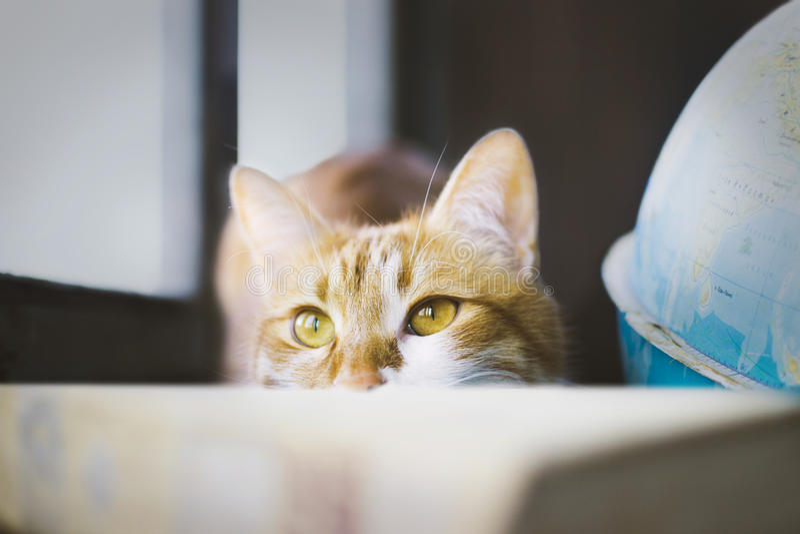 Den ljust rödbrun katten som döljas bak boken, kattframsida, ser ut ur boken, komplott arkivfoton