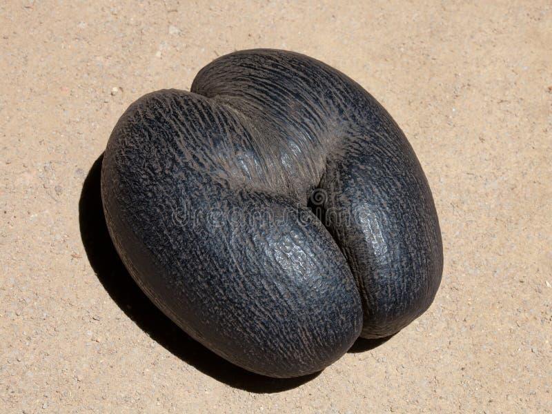 Den Lodoicea kokosnöten kärnar ur fotografering för bildbyråer