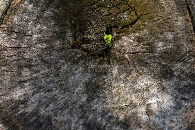 Den loggade trädstubben, stänger sig upp gammal trätextur för bakgrund arkivbild
