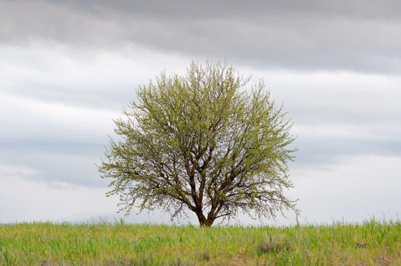 Den Lone treen i en gräsplan sätter in med den molniga skyen royaltyfria bilder