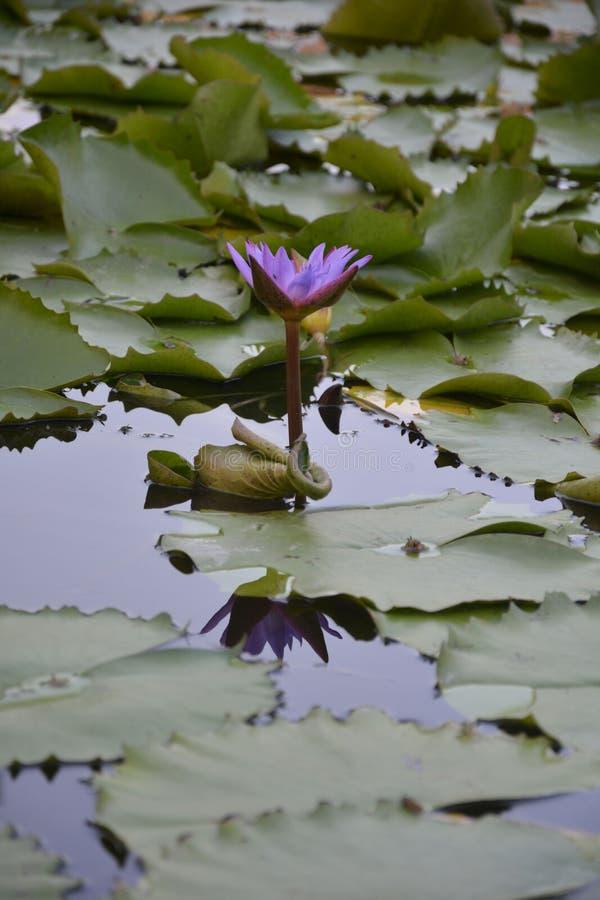 Den Lotus blomman betonade - 3 royaltyfri foto