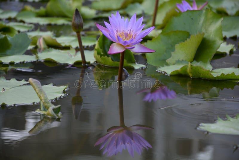 Den Lotus blomman betonade - 4 royaltyfria foton