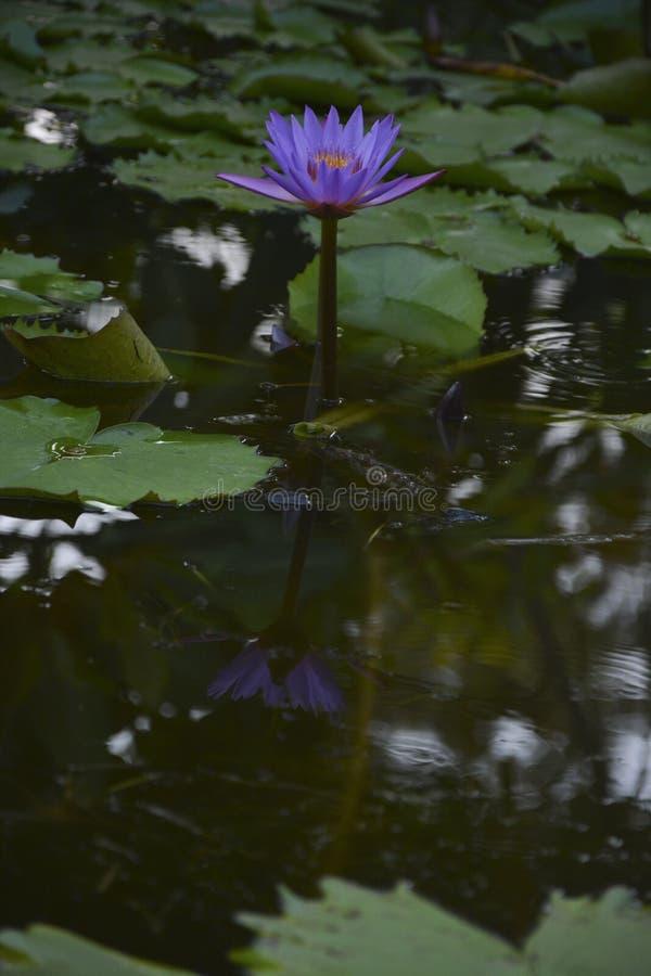 Den Lotus blomman betonade - 2 arkivbild