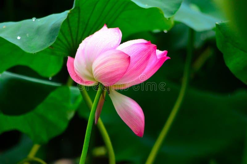 Den Lotus blomman i regnet royaltyfria foton
