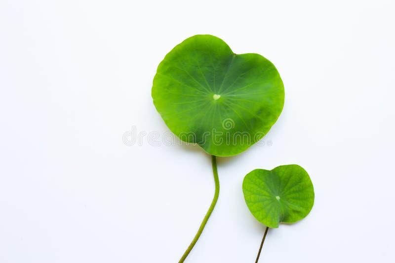 Den Lotus blomman l?mnar p? vitt arkivbild