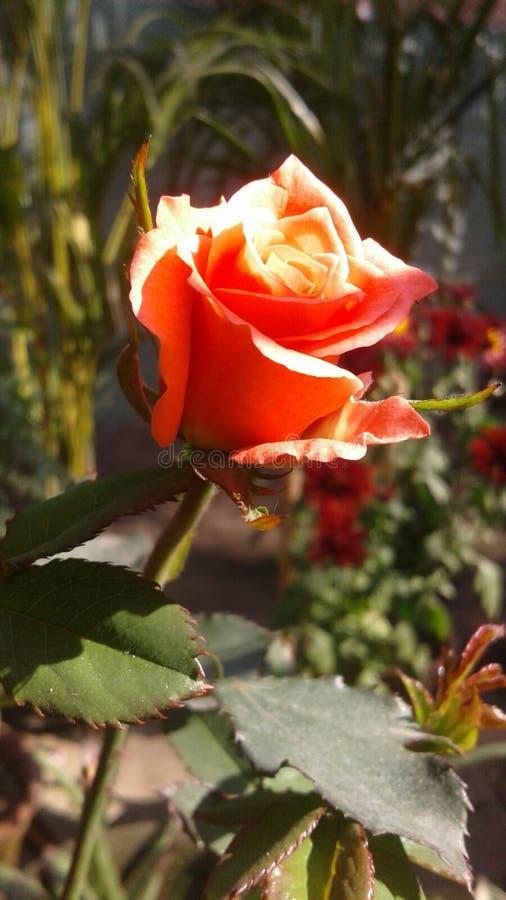 Den ?lskv?rda rosa f?rgrosen royaltyfria foton