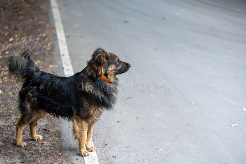 Den lurviga borttappade hunden står på en grå asfaltväg och blickar in i avståndet Utrymme f?r text royaltyfri fotografi