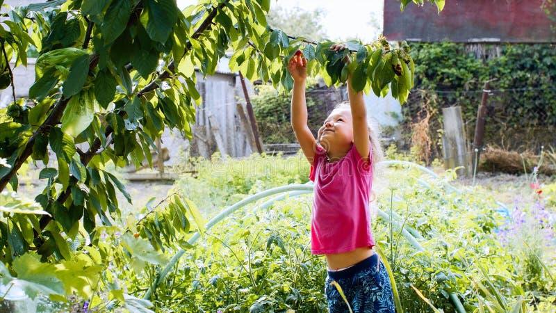 Den lyckliga lilla flickan äter körsbäret i trädgården som plockar det från trädet arkivfoton