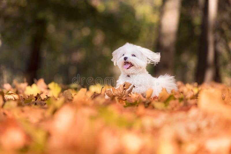 Den lyckliga maltesiska hunden kör på Autumn Leaves Ground royaltyfria foton