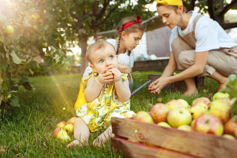 Den lyckliga unga familjen under plockningäpplen i ett trädgårds- utomhus royaltyfri fotografi