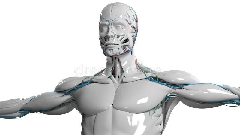 Den mänskliga anatomiframsidan och torson i porslin avslutar sig på vanlig vit bakgrund vektor illustrationer