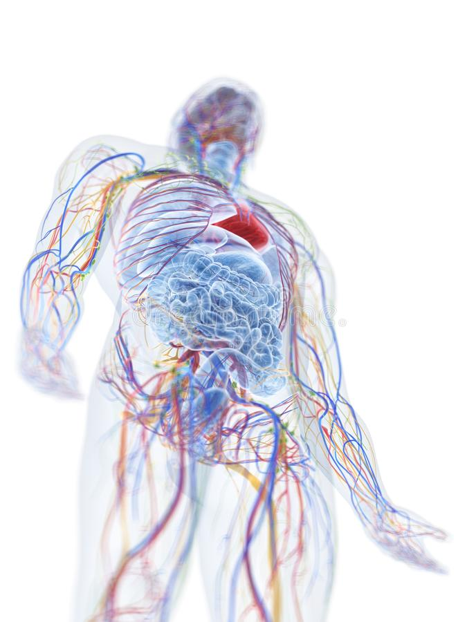 den mänskliga anatomin stock illustrationer