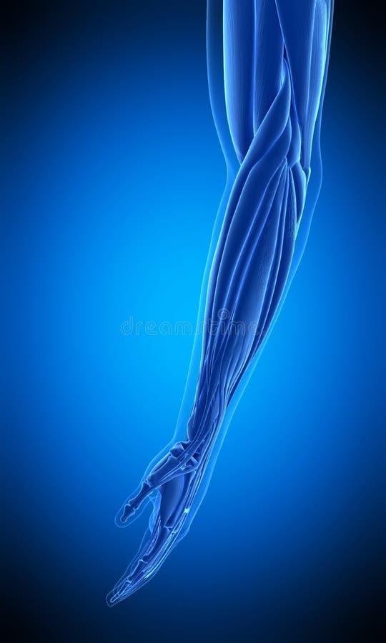Den mänskliga armmuskeln stock illustrationer