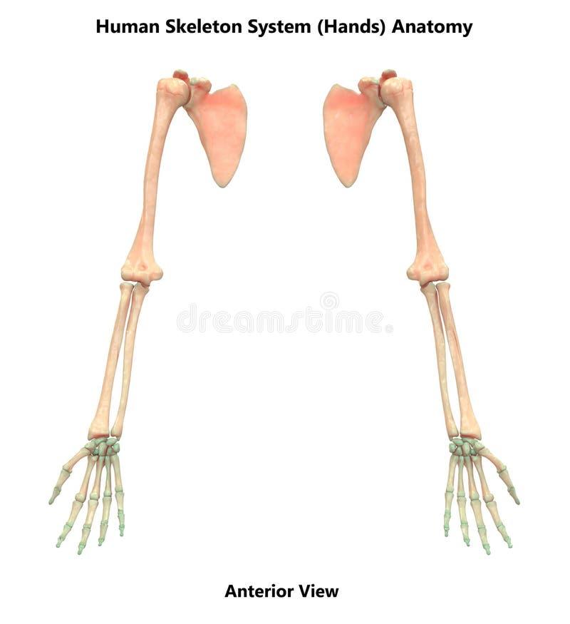 Den mänskliga benhanden för det skelett- systemet fogar ihop anatomi vektor illustrationer