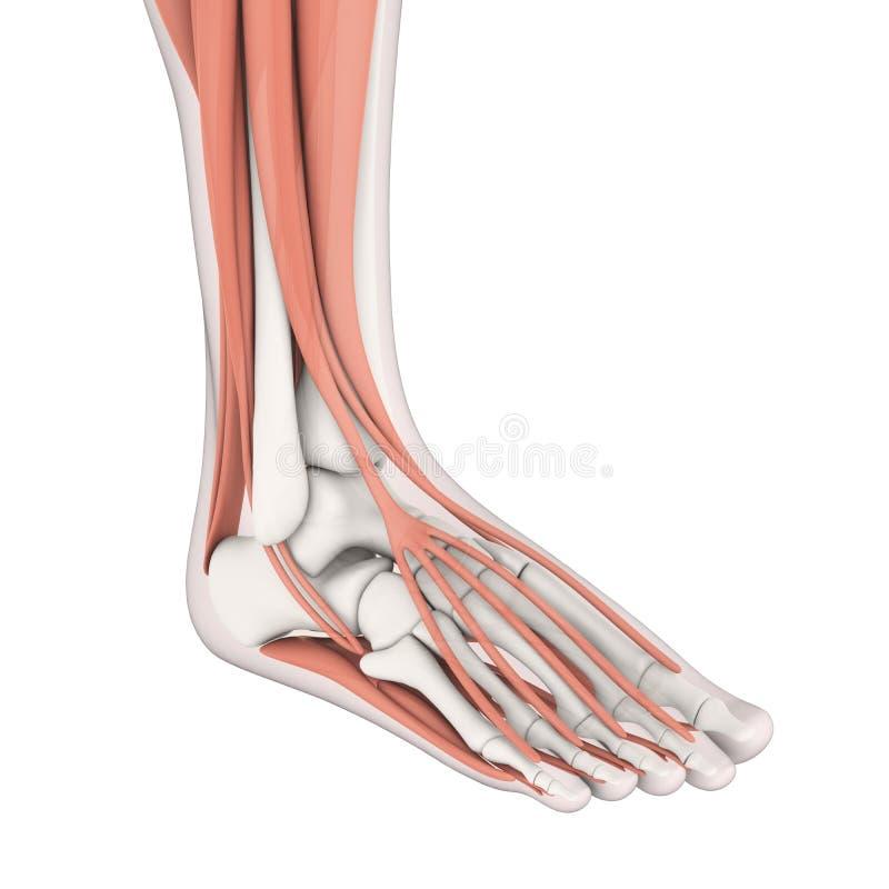 Den mänskliga foten tränga sig in anatomi royaltyfri illustrationer