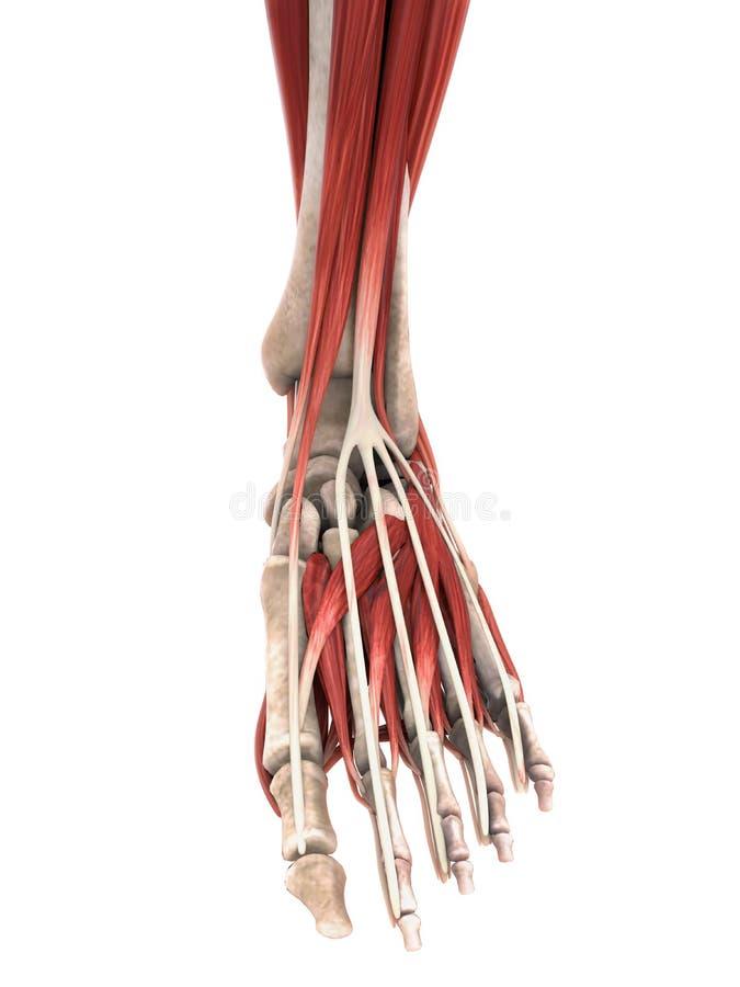 Den mänskliga foten tränga sig in anatomi stock illustrationer