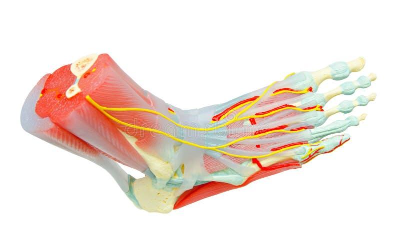 Den mänskliga foten tränga sig in anatomimodellen fotografering för bildbyråer