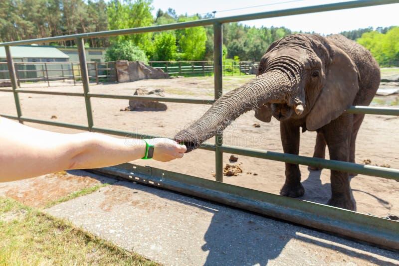 den mänskliga handen trycker på en elefantstam royaltyfri fotografi