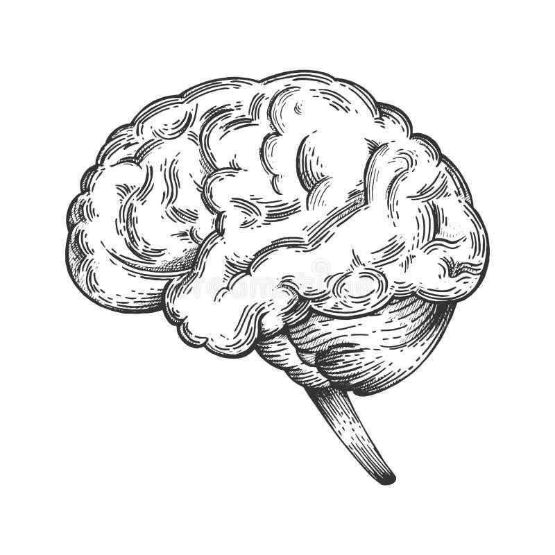 Den mänskliga hjärnan skissar gravyrvektorn royaltyfri illustrationer
