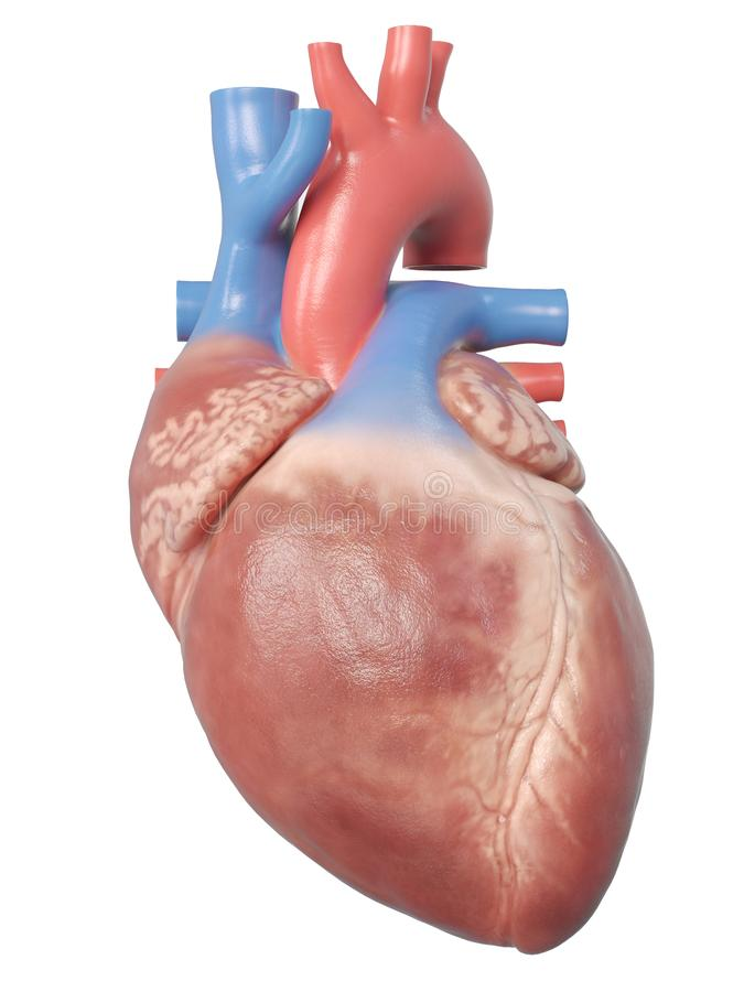 Den mänskliga hjärtaanatomin royaltyfri illustrationer