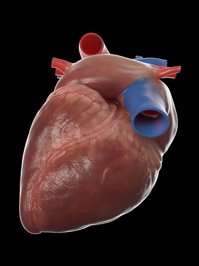 Den mänskliga hjärtaanatomin vektor illustrationer