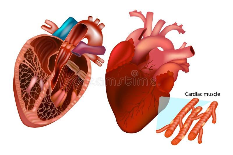 Den mänskliga hjärtaanatomin stock illustrationer