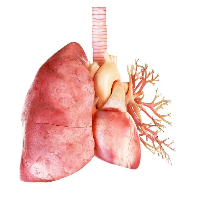 Den mänskliga hjärtan och lungan royaltyfri illustrationer