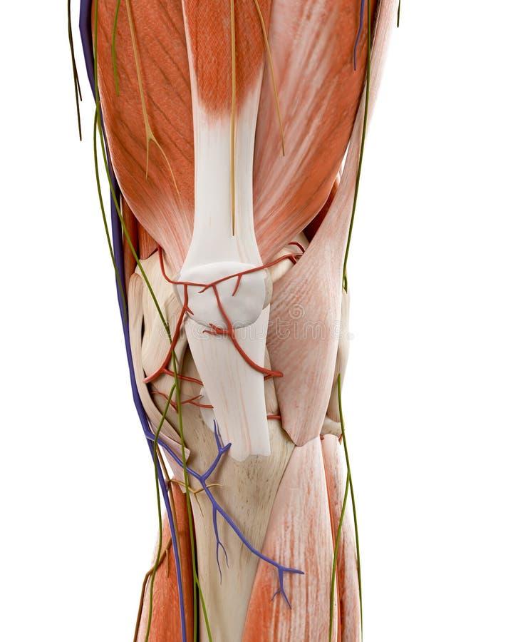 Den mänskliga knäanatomin stock illustrationer