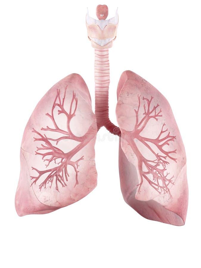 Den mänskliga lungan och luftröret royaltyfri illustrationer