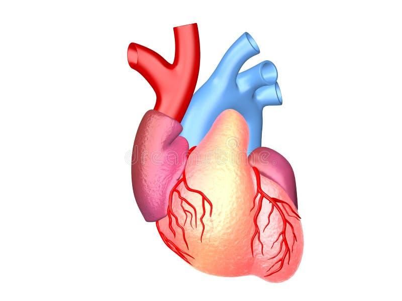 Den mänskliga modellen för hjärta 3d framför illustrationen stock illustrationer