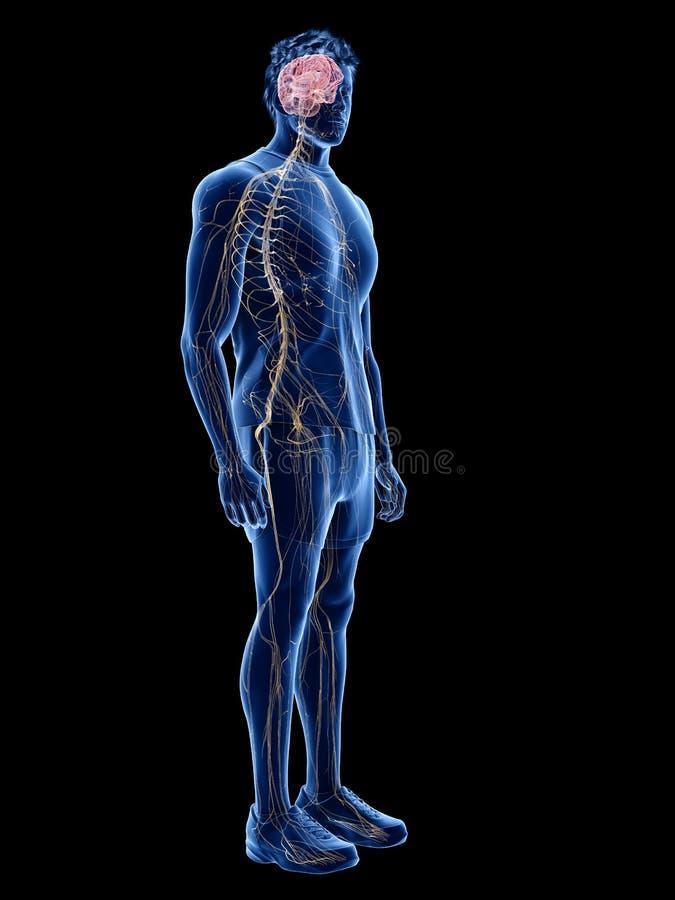 Den mänskliga nervsystemet royaltyfri illustrationer