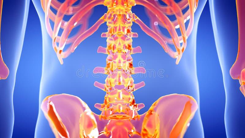 Den mänskliga skelett- lumbala ryggen royaltyfri illustrationer