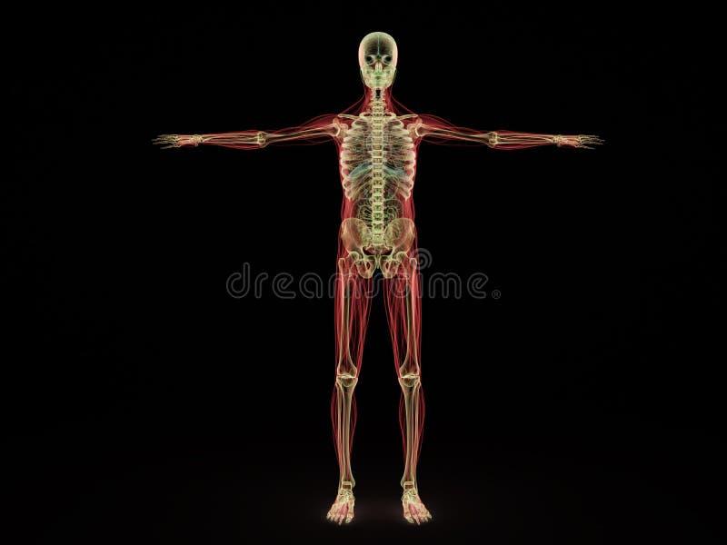 Den mänskliga strålen 3d för anatomi x framför på svart stock illustrationer
