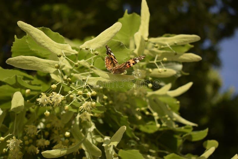 Den målade damfjärilen matar på en nektar av blommor av lindträdet arkivbilder