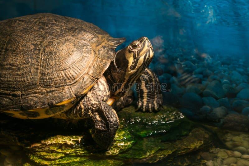 Den målade fullvuxna sköldpaddachrysemyspictaen som sitter på, vaggar att värma sig i sol för sen morgon i sötvattendammet royaltyfria foton