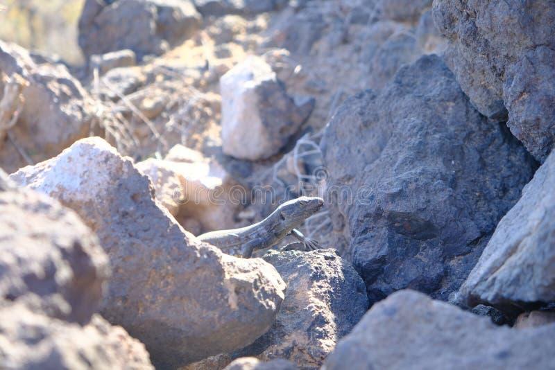 Den mörka ödlan som kamoufleras i vulkaniskt, vaggar royaltyfria foton